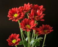Red Santini Chrysanthemums