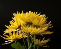 Yellow Chrysanthemum