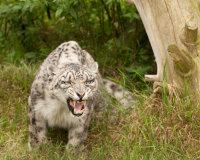 Roar Anger
