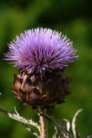 S1028 Scottish Thistle