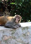 Monkey Lounging (2015)