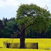 Charles II Oak tree Boscobel House