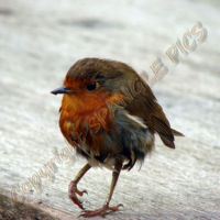 Strolling Robin