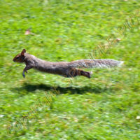 Squirrel In Flight