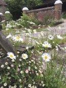 courtyard daisies