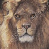 Untamed, African Male Lion