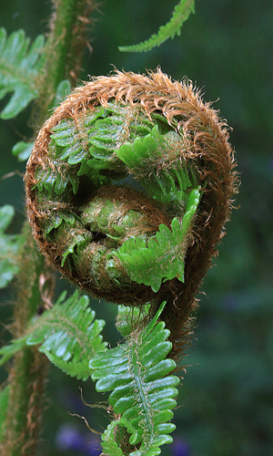 Coiled Fern