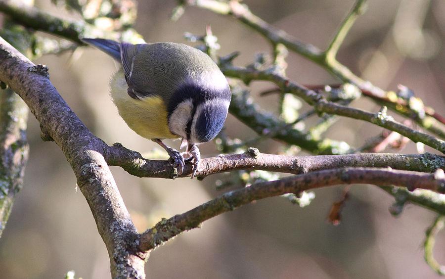 Blue Tit Holding Nut