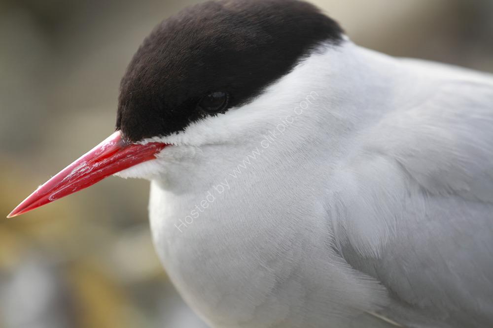 Portrait of a Tern