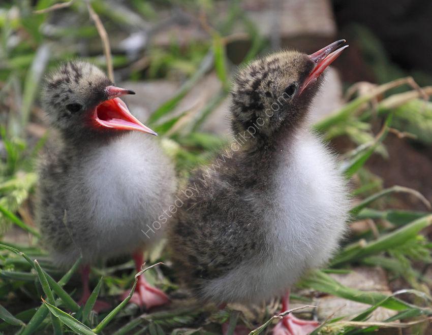 Tern Chicks