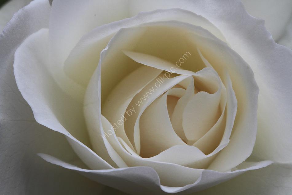 Tealby Rose