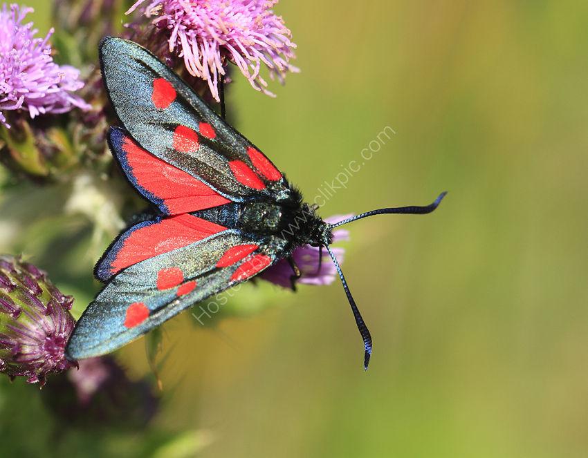 Burnet Moth