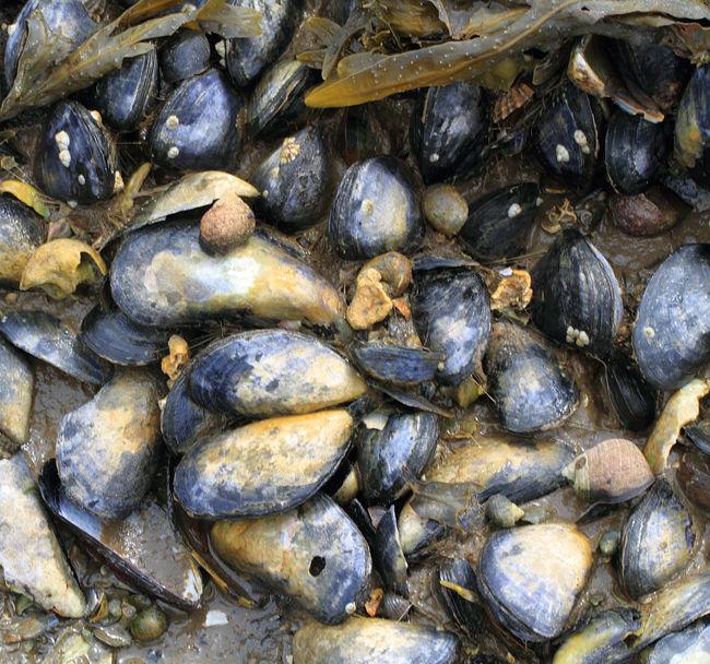Mussel on Mussel