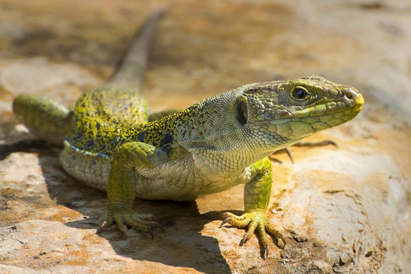 Lizard Looks
