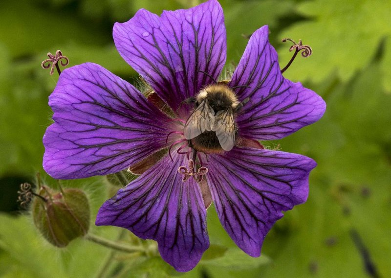 Bumble Bee Sitting On Flower