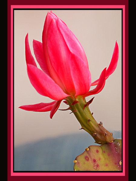 Cactus Open Flower