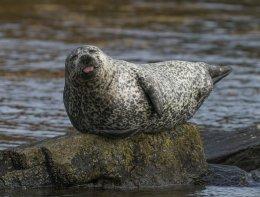 Cheeky Grey Seal
