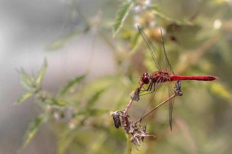Dragonfly Feeding