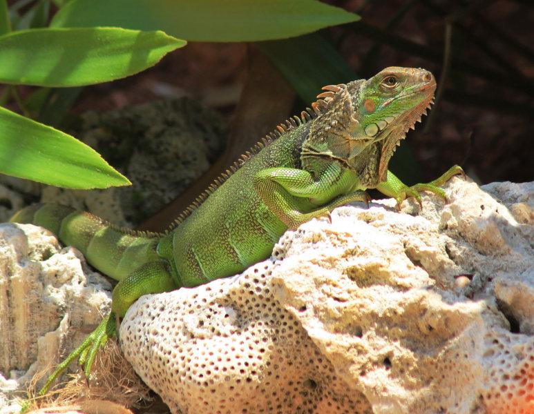 Key West Gecko