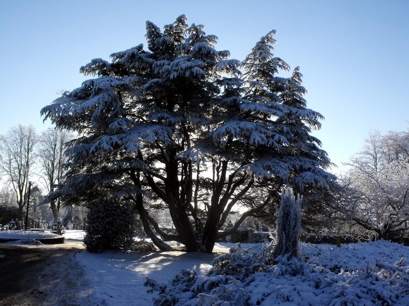 Cemetry Yew Tree