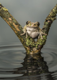 Victorious Frog