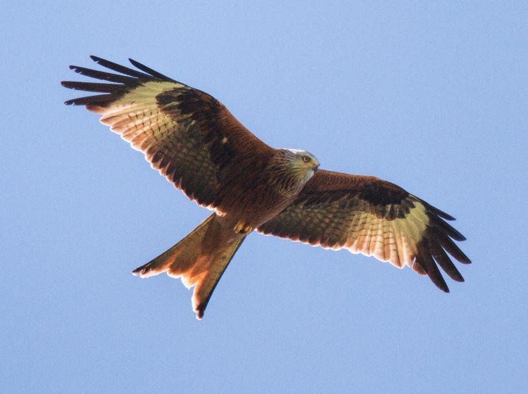 Red Kite 06