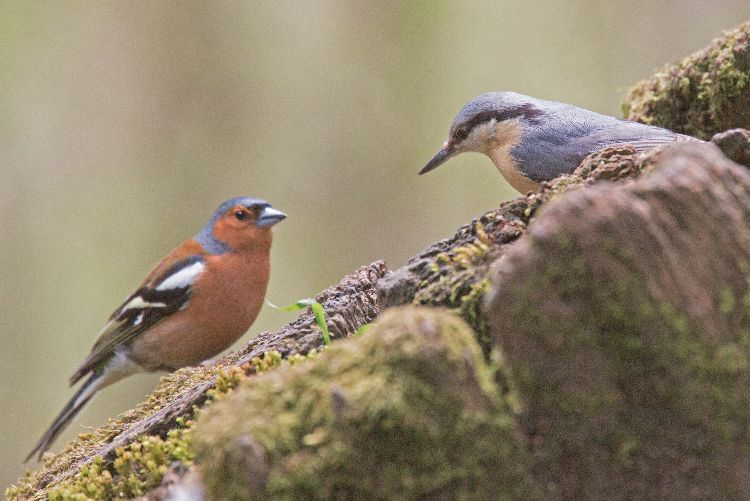Nuthatch meets chaffinch
