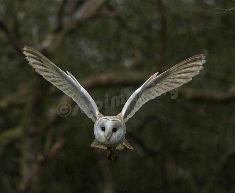 Barn Owl using his ailerons coming into land!