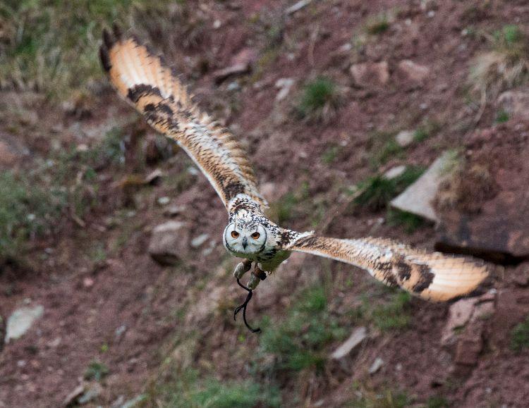 Eagle owl 9