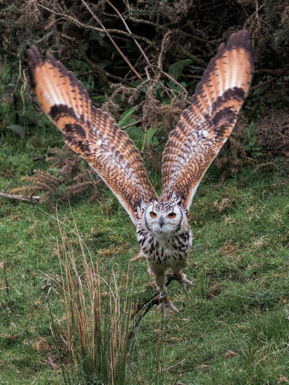 Marvin the Eagle Owl