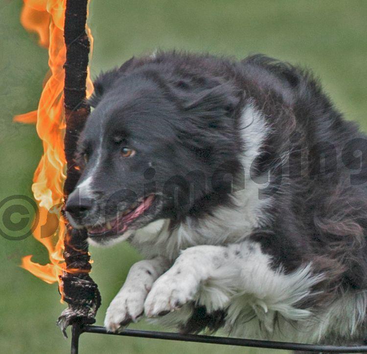 Dog Display
