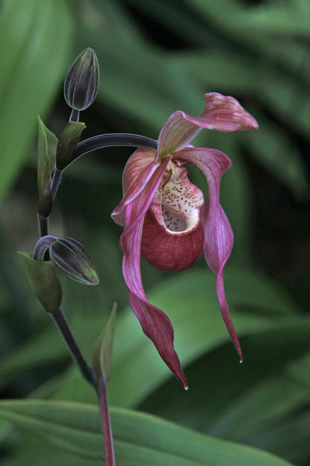Slipper Orchid 2