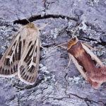 Antler and Flame shoulder moths