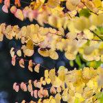 Katsura tree Autumn
