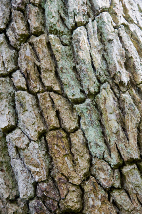 Bark of Ancient Oak