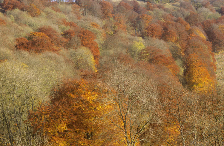 Beech and Ash trees