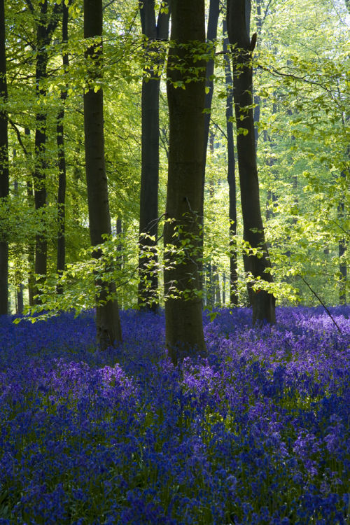 Bluebells and Beech woodland