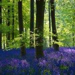 Bluebells West Woods