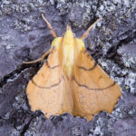 Canary shouldered thorn