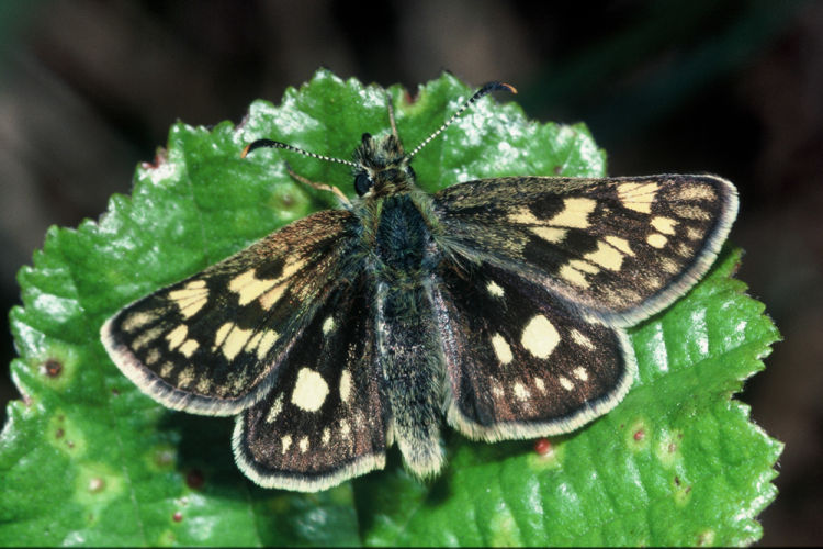Chequered skippers
