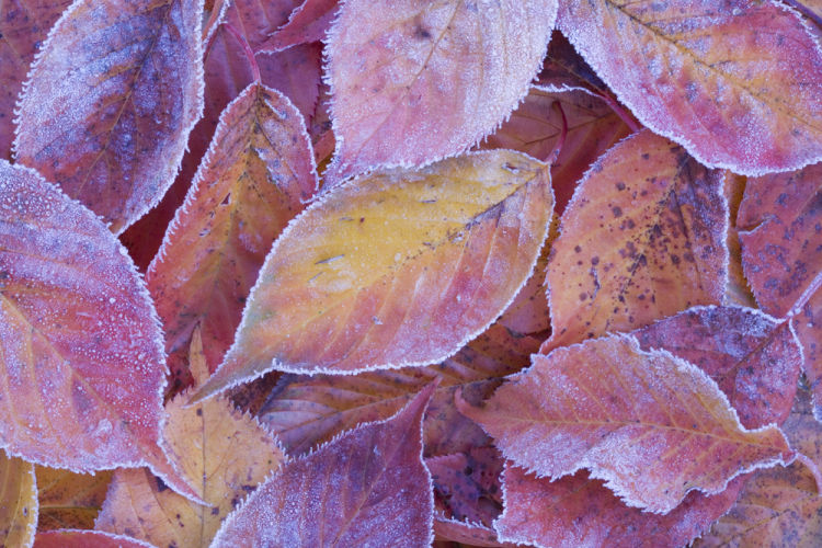 Frosted cherry leaves