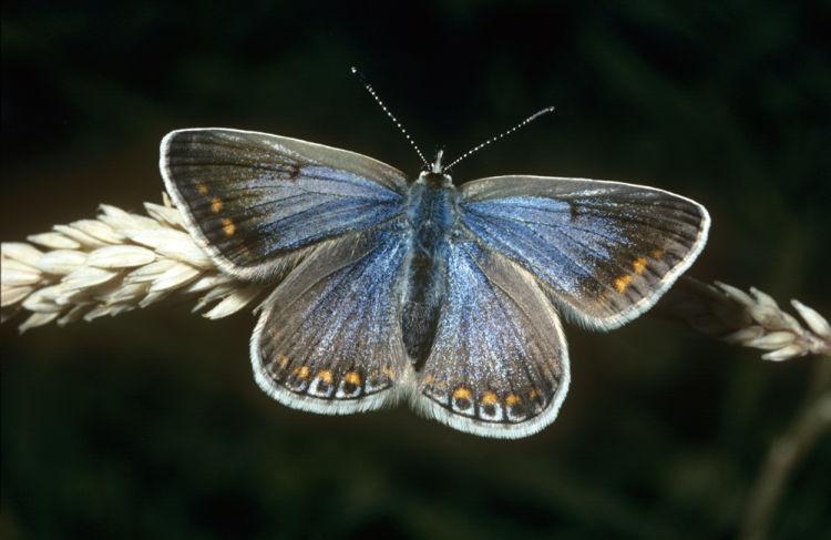 Common blue female