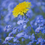Dandelion and forgetmenot