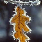 Frosted Oak leaf