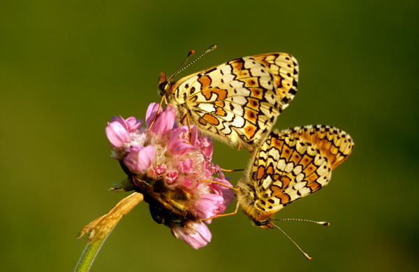 Glanville Fritillary butterflies