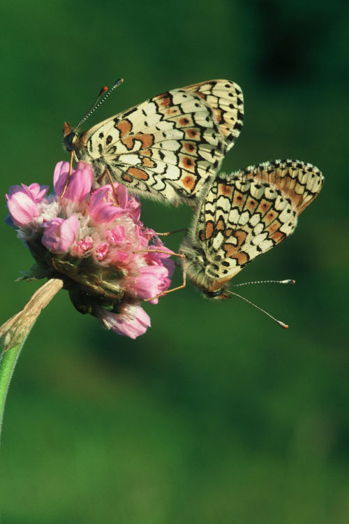Glanville Fritillary butterflies mating