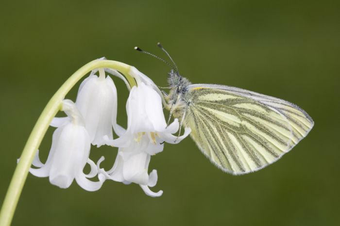 Green veined white