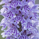 Heath spotted orchid