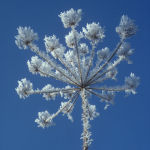 Hoar Frost and Hogweed
