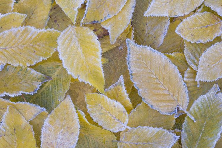 Frosted hornbeam leaves